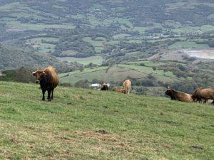 ガリシア地方の牛