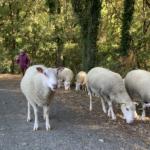 カミーノの羊
